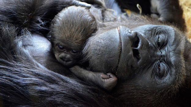 Eine Gorillamutter mit ihrem Baby.