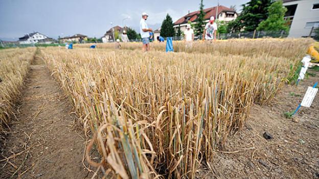 Feld mit Gentech-Weizen in der Nähe von Genf, 2009.