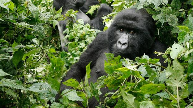 Die Gorillas im Kongo werden von Wilderern bedroht.