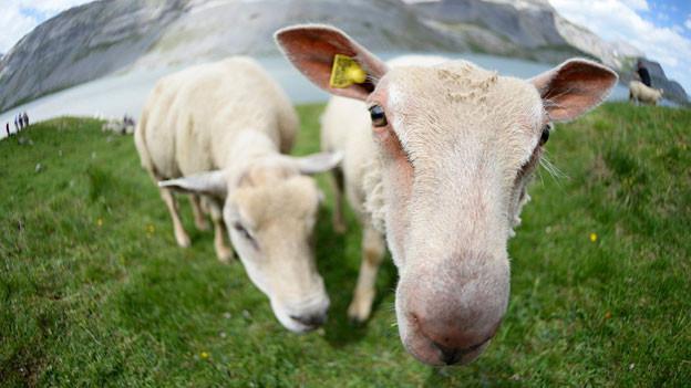 Schaf hält Schnauze in die Kamera