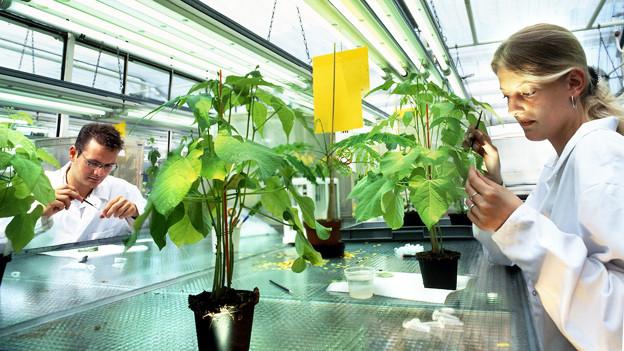 Zwei Forscher untersuchen Pflanzen in einem Labor.