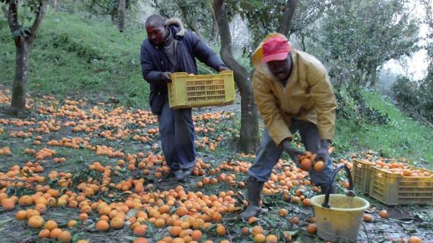 Zwei Männer sammeln Orangen vom Boden auf.
