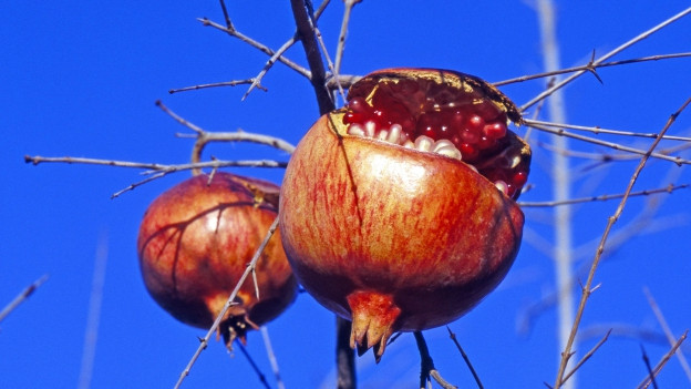 Zwei Granatäpfel an einem Baum