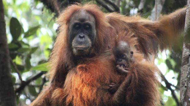 Orang Utan mit seinem Jungen