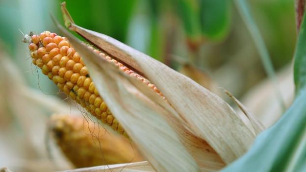 Ein Maiskolben