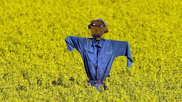 Vogelscheuche mit blauem Hemdt in Mitten eines Rapsfeld mit gelben Blüten