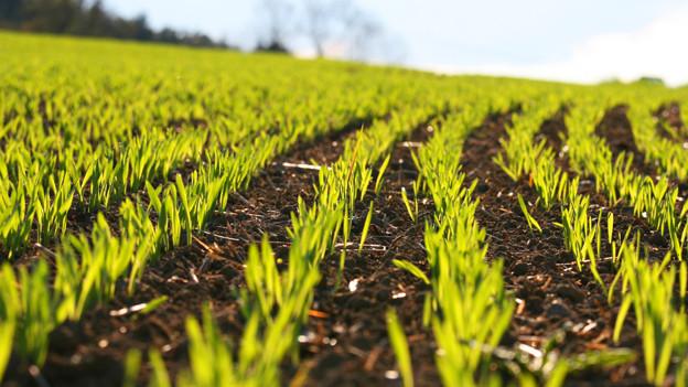 Ein Feld mit hellgrünen Sprösslingen.