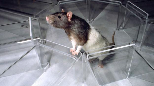 Eine Ratte schnuppert herum. Sie ist eingekesselt.