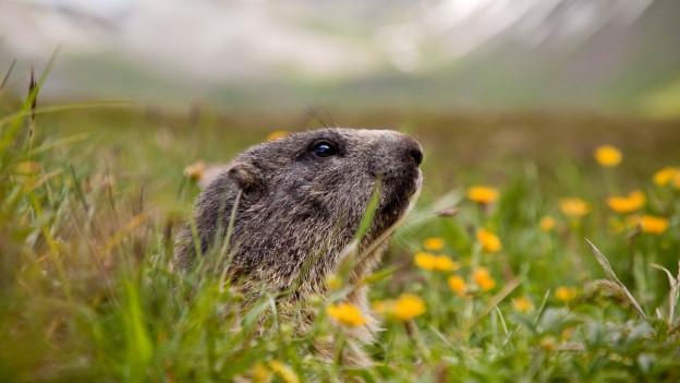 Unerschrocken reckt dieses junge Murmeltier seine Nase aus seiner alpinen Behausung auf rund 2100 Meter über Meer am Foopass.