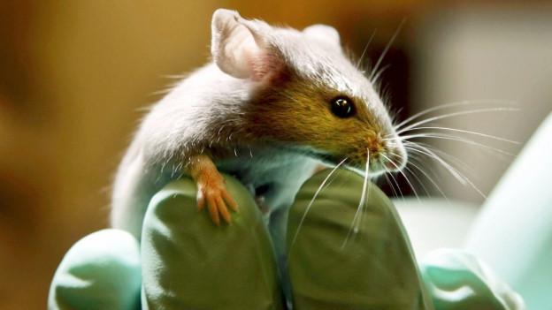 Eine Maus sitzt am 24. Januar 2006 auf der Hand eines Angestellten in einem Labor fuer Tierversuche in Bar Harbor, USA.
