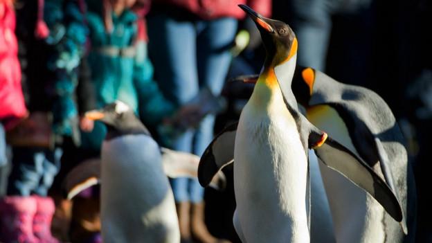 Die Pinguine im Zoo in Basel machen einen Spaziergang.