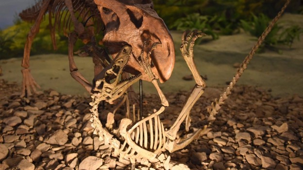 Die Skelette zweiter kämpfender Dinosaurier