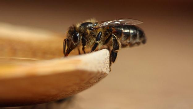 Bienen summen nicht nur, sie klappern auch mit den Flügeln.