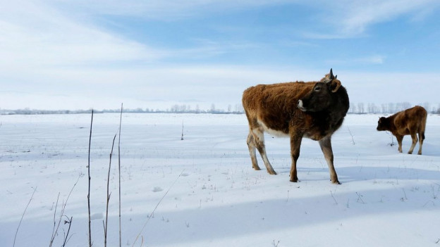 Kuh auf Schneefeld