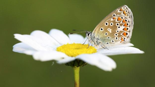 Symbolbild: Ein Schmetterling sitzt auf einer Blume.