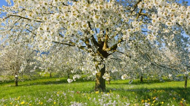 Kirschbäume im Frühling.