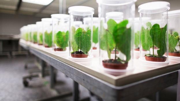 Pflanzen in Gläsern in einem Labor.