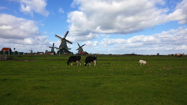 Grüne Wiese mit Kühen und im Hintergrund Windmühlen.