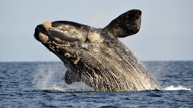 Ein Wal im Meer.