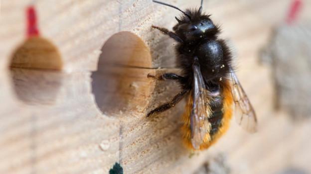 Wildbiene vor dem Loch eines Bienenhauses