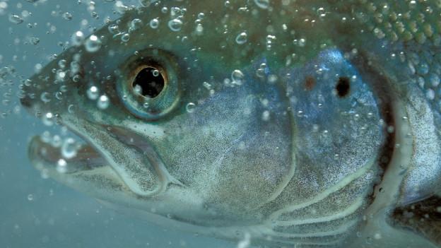 Ein Fisch unter Wasser.