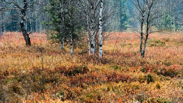Bedrohte Vielfalt: das Hochmoor von Rothenturm im Herbst.