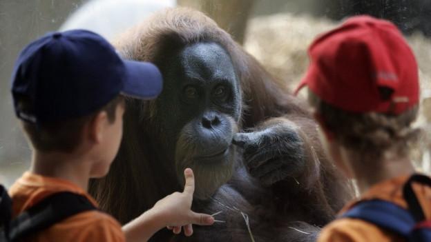 Ein Orang Utan im Zoo