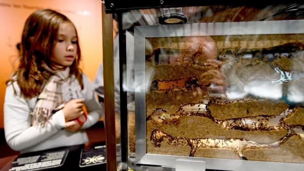 Ein Mädchen blickt im Naturhistorischen Museum Genf in einem Glaskasten.