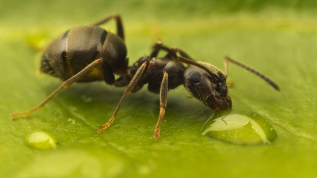 Nahaufnahme einer schwarzen Ameise auf einem Blatt