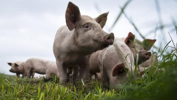 Mehrer Schweine auf einer Wiese