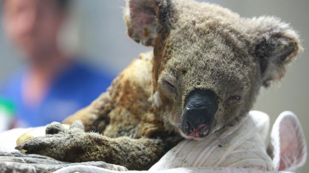 Ein versengter Koala vor der Kamera