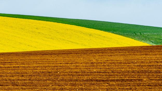 Bild eines Monokultur-Ackers mit gelbem Raps
