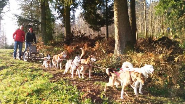 Startvorbereitungen komplett! Die Hunde können es kaum erwarten, das Wägeli mit Fahrerin Alex und Passagier Dani durch den Wald zu jagen