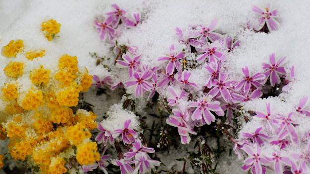 Frühlingserwachen mit Schnee
