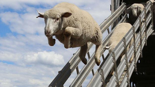 Glückliches Schaf, glückliche Menschen?