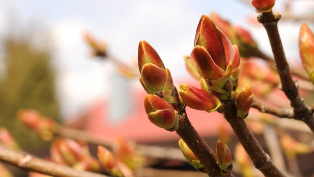 Knospen einer Pflanze