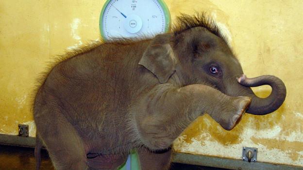 Elefant auf Waage