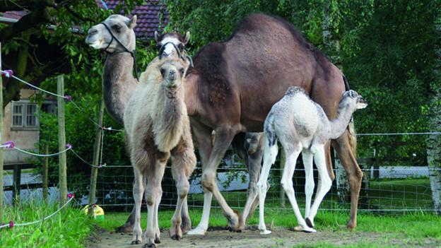 Kamele: Die Attraktion für Jung und Alt.
