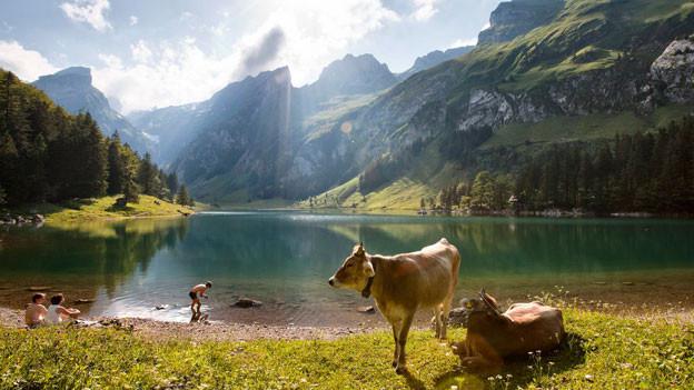 Kühe stehen am Seealpsee im Alpstein.