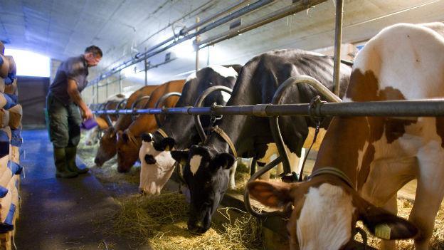 Bauer beim Kühefüttern im Stall.