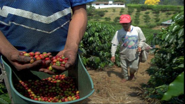 Kaffee-Ernte in Kolumbien.