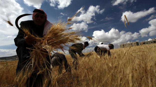 Hilfe und Last zugleich: syrische Flüchtlinge ernten Getreide in Jordanien.