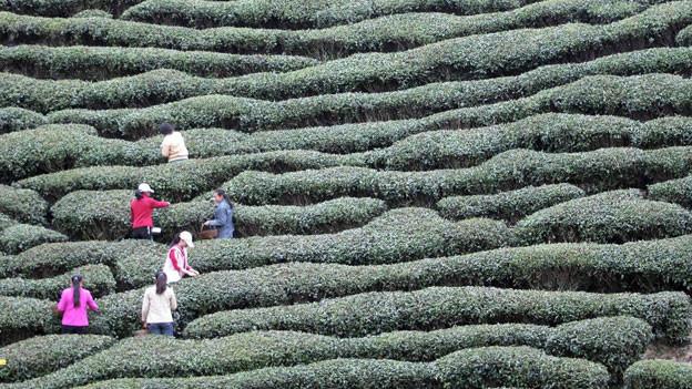 Frauen pflücken Teeblätter in einer Plantage in Xixiang county im Norden Chinas.