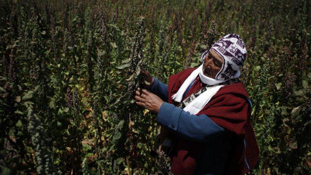 Quinoa wird vor allem in den Anden angepflanzt