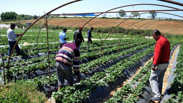 Arbeiter auf einer griechischen Erdbeerplantage.