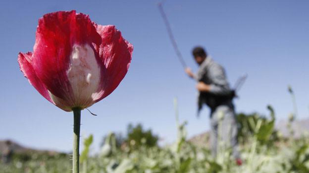 Ein afghanischer Polizist zerstört ein Schlafmohn-Feld in Alingar, Laghman Provinz, östlich von Kabul, Afghanistan. Afghanistan ist weltweit der grösste Opiumlieferant.