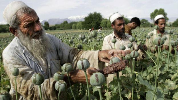Bauern in Afghanistan bei der Ernte von Schlafmohn, dem Roh-Opium.