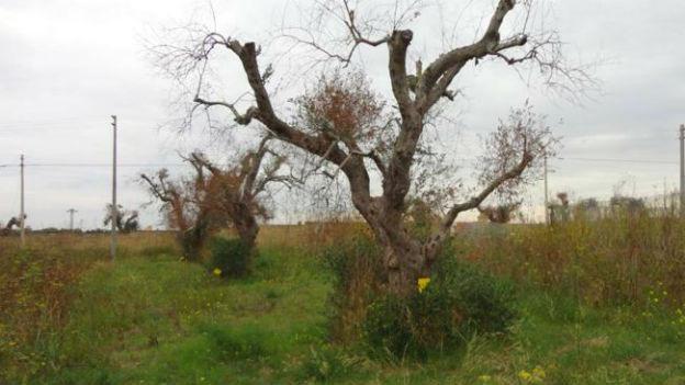 Ein mit Xylella befallener Olivenbaum in Apulien.