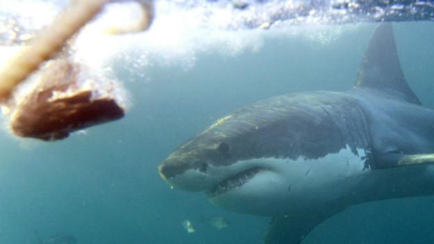 Ein weisser Hai in der nähe von Südafrika.