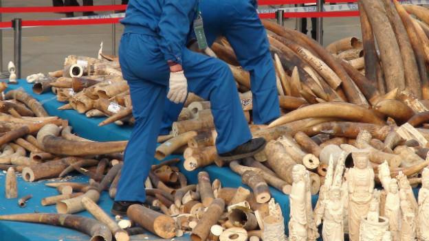 Arbeiter zerstören in Dongguan konfisziertes Elfenbein.